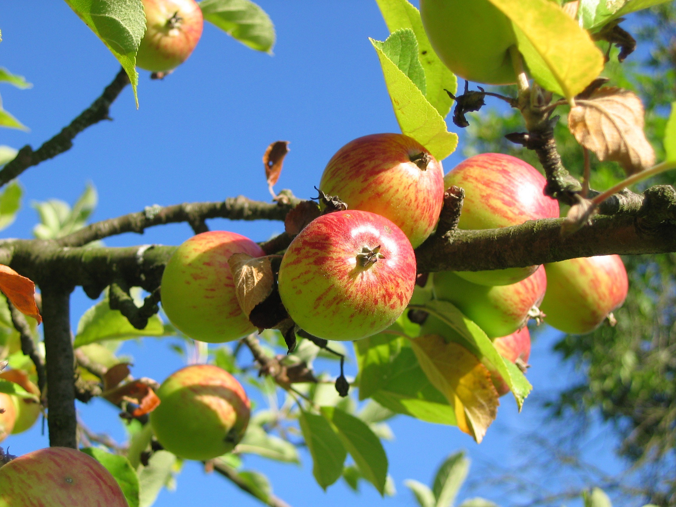 /apple-is-the-fruit-google-is-the-tree-eba973504fd9 feature image