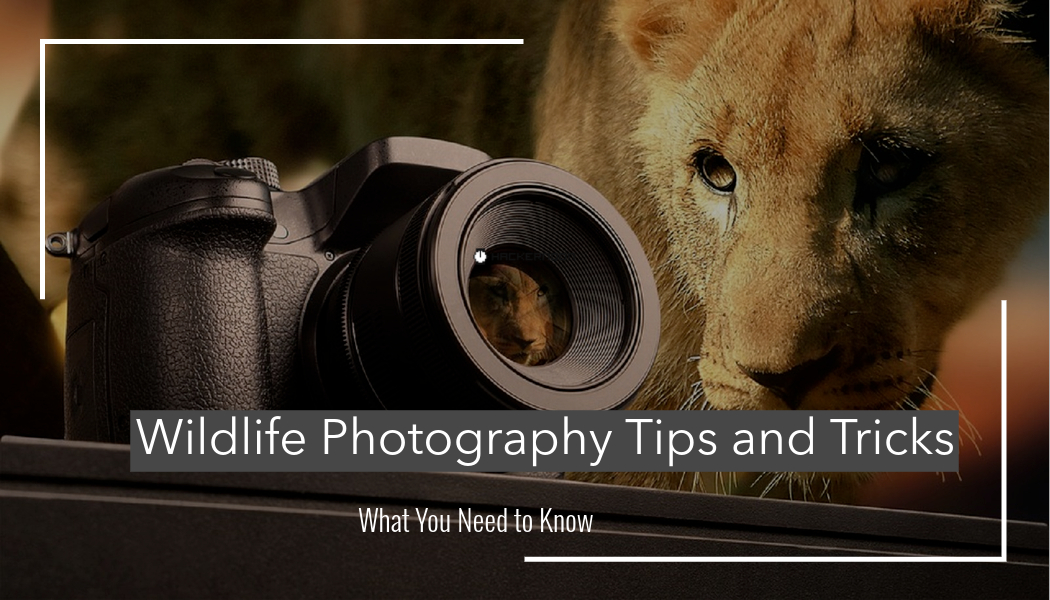 /wildlife-photography-tips-and-tricks-ys2a36ko feature image