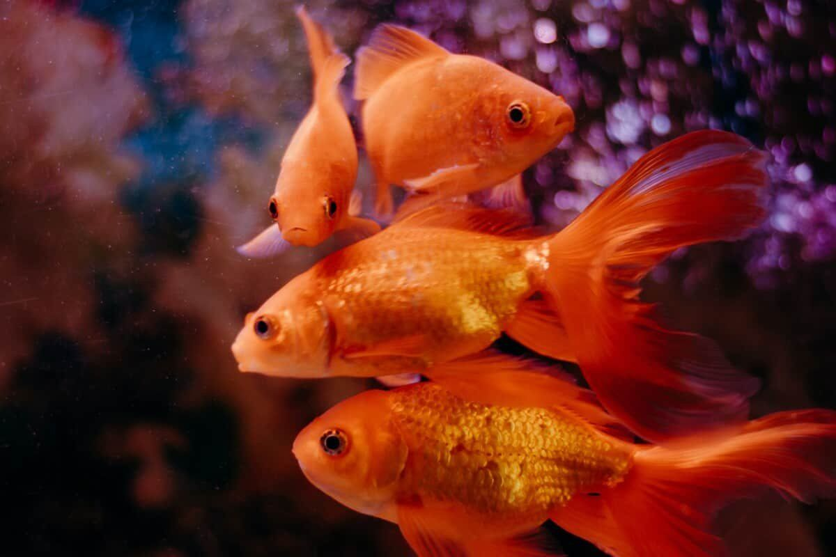 /do-goldfish-sleep-like-humans-do-no-eyelids-no-problem-bl3931tr feature image